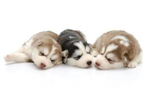 niedliche Welpen siberian husky, der auf weißem Hintergrund schläft