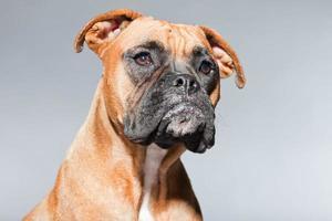 junger brauner Boxerhund. Studioaufnahme vor grauem Hintergrund.