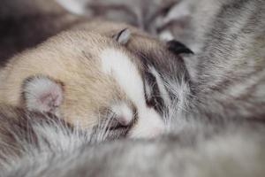 Neugeborene Welpen Siberian Husky.
