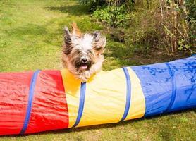 Agilität des Hundes mit springendem tibetischen Terrier