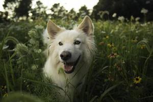 Hund in Wildblumen foto