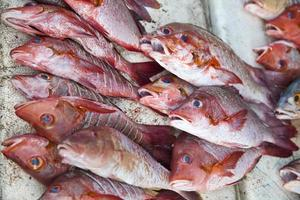 Red Snapper Gruppe