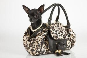 Chihuahua in einer schicken Geldbörse