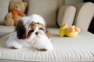 Der süße Shih Tzu Welpe kauert auf dem Sofa foto