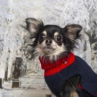 Nahaufnahme eines verkleideten Chihuahua in der Winterlandschaft foto
