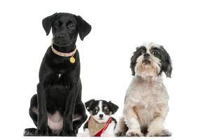 Gruppe von Hunden, die zusammen sitzen, lokalisiert auf Weiß