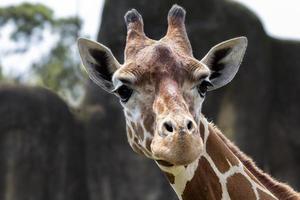 Giraffe foto