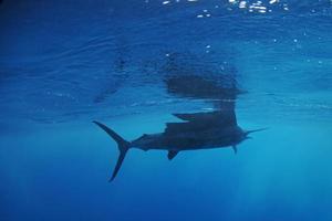Segelfischfische, die im Ozean schwimmen foto