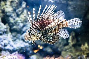 roter Feuerfisch - Pterois volitans foto