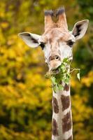 Giraffe füttert Zweige foto
