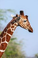 retikulierte Giraffe das männliche Porträt, vor dem Hintergrund der Savanne. schließen