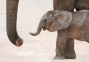afrikanisches Elefantenbaby und Mutter foto