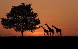 Leben der Giraffen foto