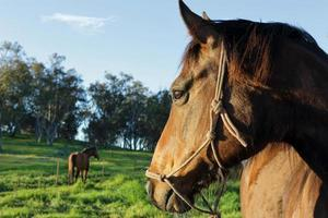 Das wachsame Auge der Pferde auf seinen Kumpel foto