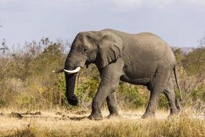 Elefant foto