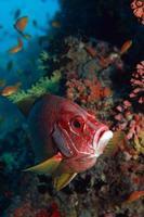 roter Schnappfisch foto