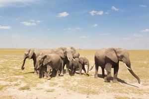 loxodonta africana, afrikanischer Buschelefant.