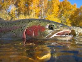 Idaho Steelhead Forelle foto