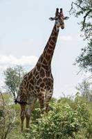 große Giraffe foto