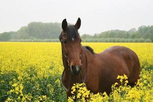 pferd im rapsfeld foto