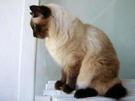 süße männliche siamesische Katze foto