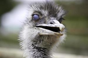Emu foto