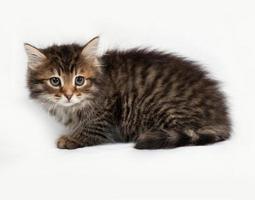 flauschiges sibirisch gestreiftes Kätzchen, das auf grau sitzt