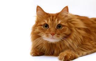 rote Katze schoss auf einem weißen Hintergrund
