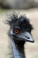 Emu Haare foto