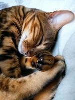 bengalische Katze: bengalische Katze, die zu Hause schläft foto