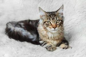 silberne schwarze Kätzchen Maine Coon posiert auf weißem Hintergrundfell