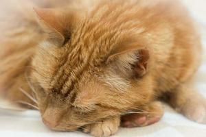 Ingwerkatze schläft foto