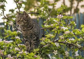 schottischer Tabby im Apfelbaum. foto