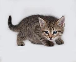 gestreiftes und weißes Kätzchen, das auf grau steht