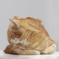 rotgestreifter kater foto