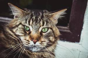 Nahaufnahme von Maine Coon schwarze Tabby-Katze mit grünen Augen foto