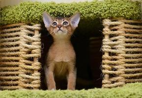 Porträt eines niedlichen abessinischen Kätzchens foto