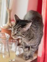 verwirige katze schnuppert an einem glas foto
