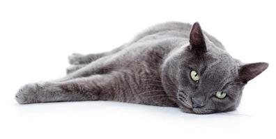 grünäugige Malteserkatze, auch als britisches Blau bekannt foto