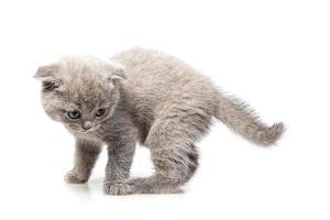 Britisches Kätzchen mit Hängeohren foto