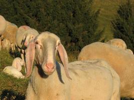 große weiße Schafe, die im Herbst weiden lassen