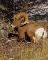 Big Horn Widder, auch bekannt als Bergschaf foto