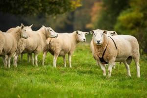 Widder trägt ein Raddle neben einer Schafherde.