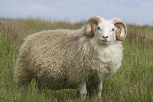 Dickhorn Widder mit schönem Wollfell, foto