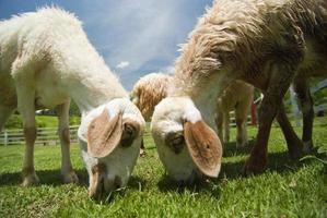 Schafe, die auf grüner Weide grasen foto