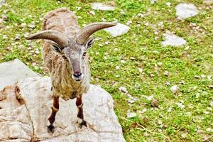 tierische blaue Schafe.