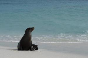 Galapagos Seelöwe sitzt am Strand foto