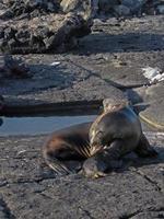 Galapagos Seelöwe Neugeborener Welpe und Mutter foto