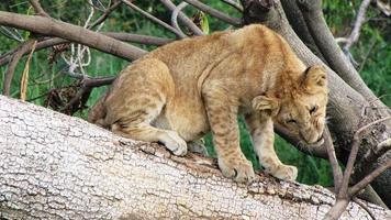 Löwenbaby, Masai Mara National Reserve, Kenia, keine Menschen, wild lebende Tiere foto