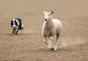 ein Schaf umrunden